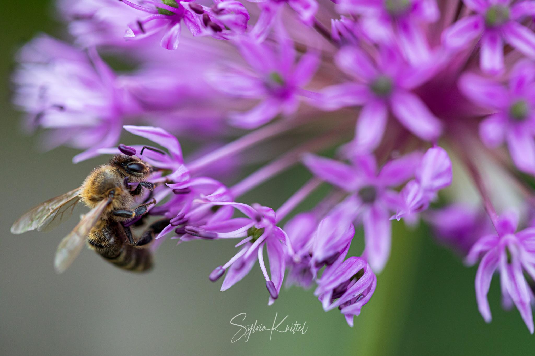 Biene an Allium