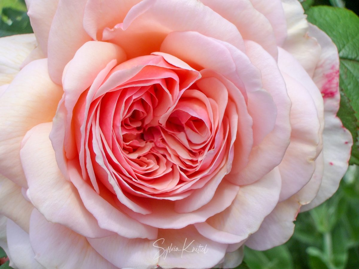 "Rose ""A Shropshire Lad"" von David Austin"