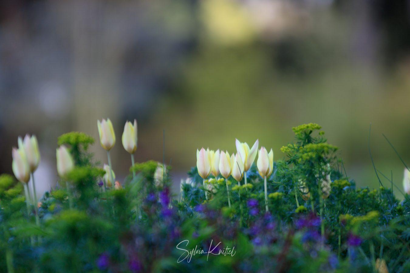 Tulipa Honky Tonk mit Eurphorbia cyparissas
