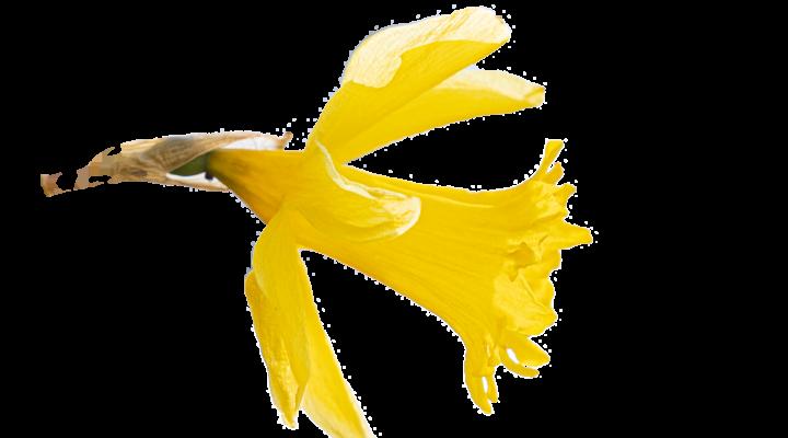 Narcissus - Referentinnen und Referenten – Garten, Pflanzen & Botanik